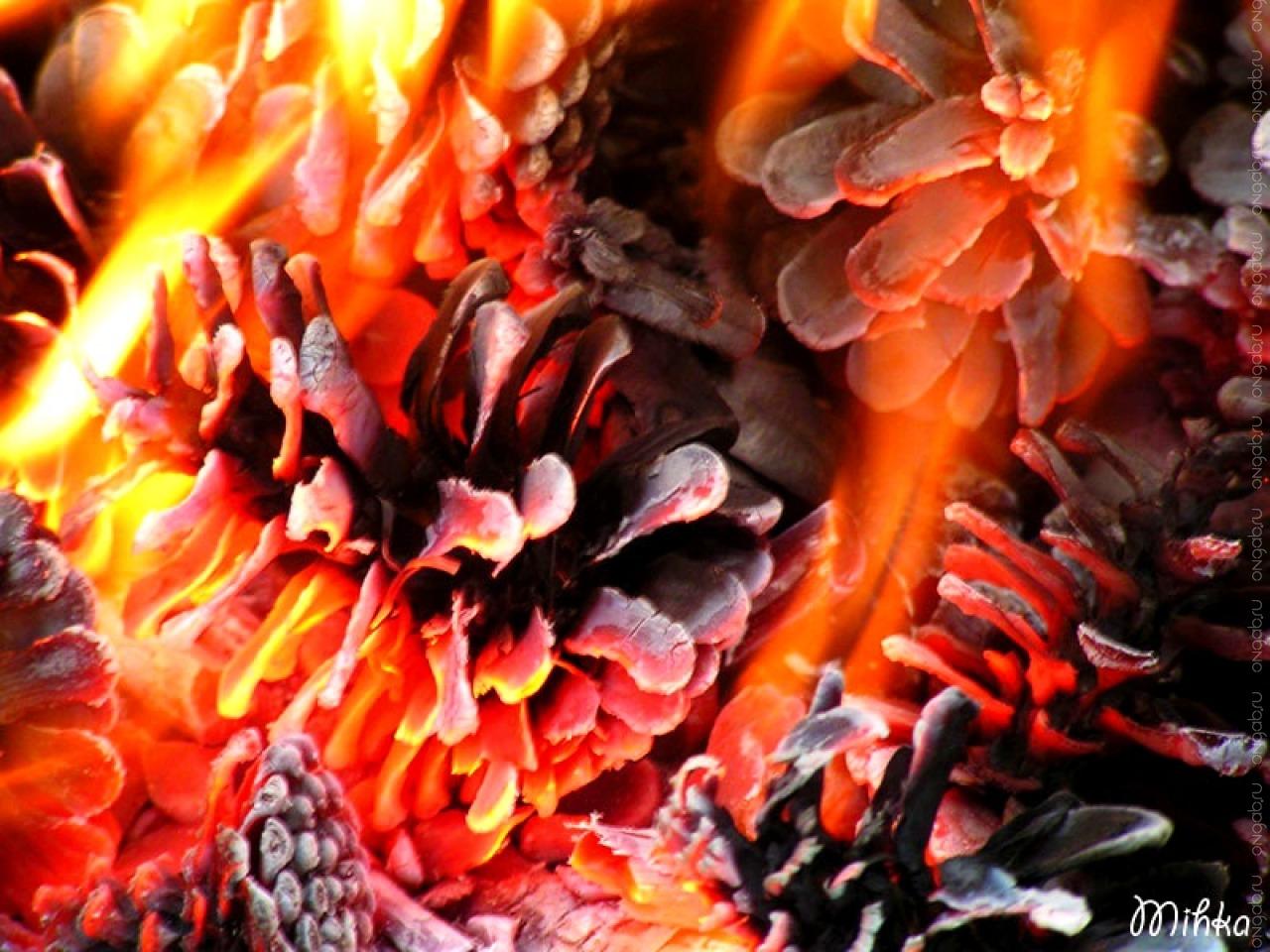 Зачем нужны Тлеющие шишки? Выращиваем Пепельный кустарник.